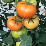 VDN_tomates_1