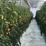 VDN_tomates_2